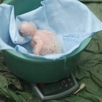 Research - a few day old macaw chick