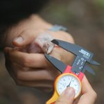 Research - taking biometric data of a macaw chick