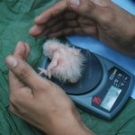 Research - measuring a macaw chick