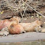 Capybaras (copyright by Jorge Mazzoti)