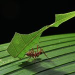 Leaf cutting ant (copyright by Thomas Marent)