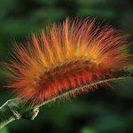 Caterpillar (copyright by Thomas Marent)