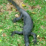 Monitor lizard roaming the grounds by the pool