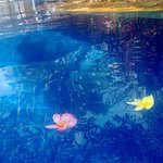 frangipani flowers in pool