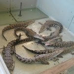 Young crocodiles at the nursery