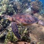 Green Sea Turtle in Napili Bay