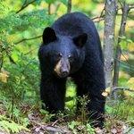 ours noir - parc de la mauricie