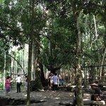 100 year old Kapok tree at Li and Miao village