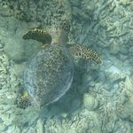 Snorkeling avec une tortue