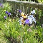 Irises in flower