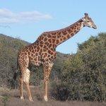 The elegant giraffe
