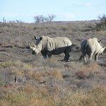 Awesome white rhino
