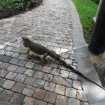 tem muitas iguanas por lá.