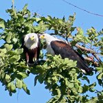 A pair of fish eagles
