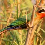 White fonrted bee eater