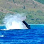 Humpback whale 400metres from the reef