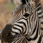Zebra seen on game drive
