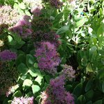 Sedum in flower