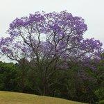 Un superbe jacaranda en fleurs