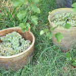We stayed during grape harvesting.
