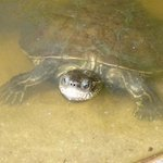 Terry the Terrapin - of the Troulos beach Terrapins