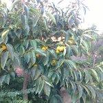 Fruktträd.