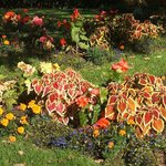 Begonias and coleus