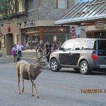 Wild life in the Main Street of Banff