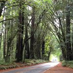 Driving through a canopy of Redwoods