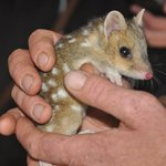 Baby quoll!