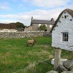 Rare Sheep at Cregneash