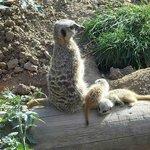 Meerkat and meerkits.