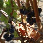 GB grapes