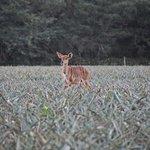 Impala zwischen Ananas :-)