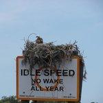 Osprey in nest