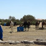 The camels are being fed for the trip!