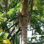 Large Iguanas fill the trees
