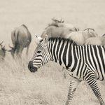 Zebra and wildebeest roaming Amboseli