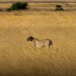 Cheetah roaming as the sun goes down