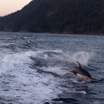 Dolphins diving in our wake