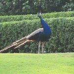 Peacock on the lawns
