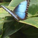 papillon morpho dans le jardin