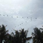 vol de pelican sur la plage