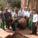 L'équipe des jardiniers ont planté un olivier