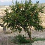 Granatapfelbaum vor unserem Fenster