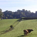 Sharpham Jersey cows the one that are responsible for the delicious cheese