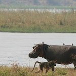 Hippo infront of the camp - Zambesi