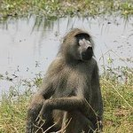 baboon next to the camp