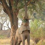 stretching elephant
