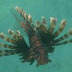 Scorpian fish!